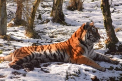 Amur Tiger