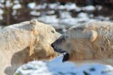 Polar Bears Walker & Arktos